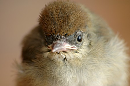 Hungry baby sparrow photo