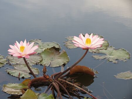 Two pink water lilies in pond photo