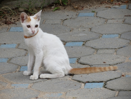 White Kitten with red tail photo