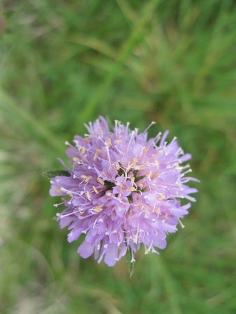 phytology: Field Scabious, Knautia arvensis lilac flower in a field
