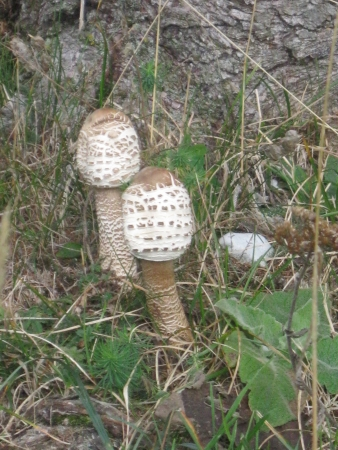 basidiomycete: Young Parasol mushroom Macrolepiota Procera Stock Photo