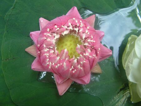 Pink lotus opening in the morning, water on leaf photo
