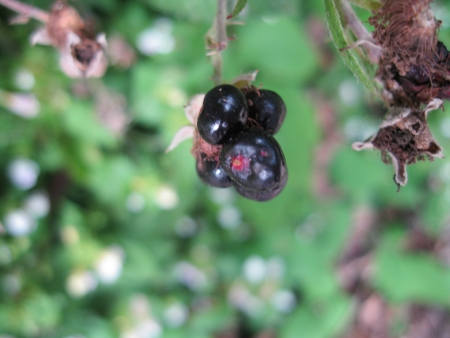 Single small blackberry in nature photo