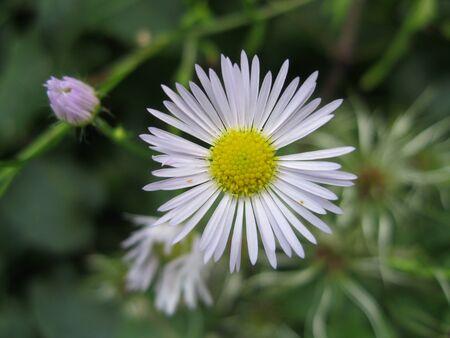 pedicel: Single thin petals daisy marguerite in nature Stock Photo