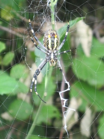 Stock Photo - wasp spider, Argiope bruennichi on web photo