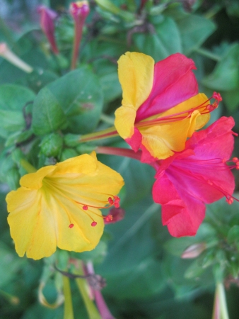 mirabilis: Mirabilis jalapa flowers in full red and yellow and striped combinations