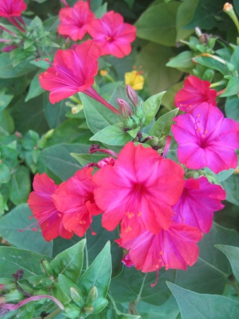magenta flowers: Mirabilis jalapa a bunch of red and magenta flowers Stock Photo
