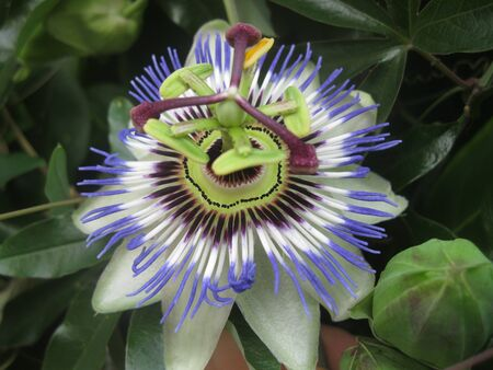 edulis: Blue passion flower, Passiflora caerulea from front Stock Photo