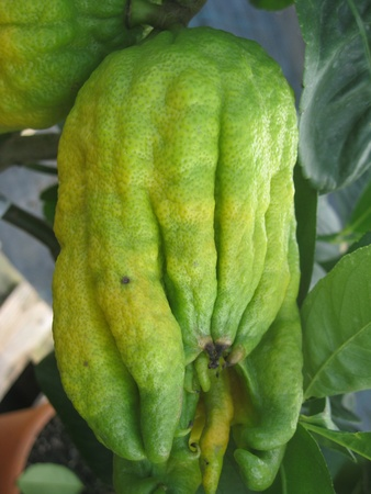 Maturing Buddha s hand or fingered citron fruit, Citrus medica photo