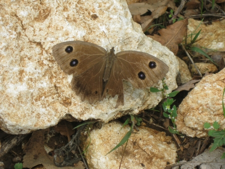 sooty: Great Sooty Satyr, Satyrus ferula, brown butterfly