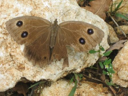 nymphalidae: Great Sooty Satyr, Satyrus ferula, brown butterfly closeup