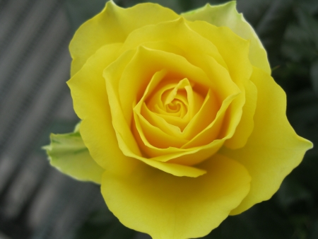 thea: Single Yellow Rose in full Blossom