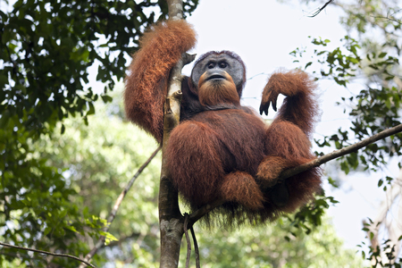 Dominant male orangutan sitting on a tree in the jungles of Sumatra