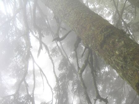 woodland  horror: The trunk of an old tree covered with moss in the fog Stock Photo