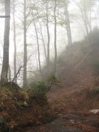 shrouded: Spring forest, shrouded in a mysterious mist. It is possible that this summer or autumn