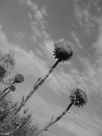 Three thistle flower on a background of sky, black and white photo Banco de Imagens