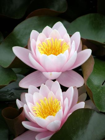 Beautiful water lily Stock Photo - 1124278