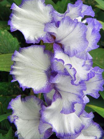 Bellissimo fiore di Iris  Archivio Fotografico