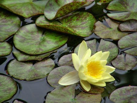 Beautiful water lily Stock Photo - 1124283
