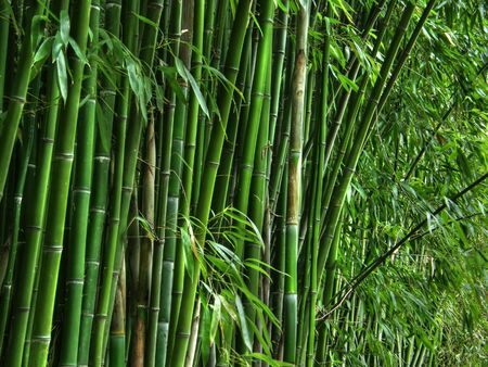 Green bamboo grove. Stock Photo