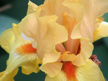 Beautiful flower of an iris photo