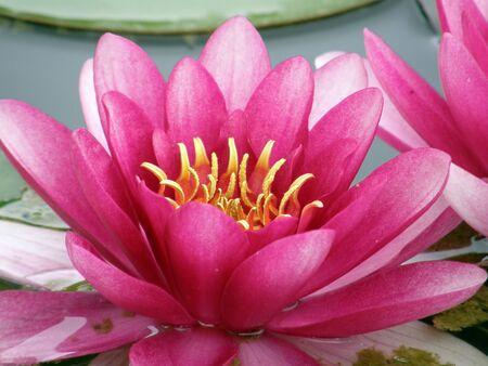 Beautiful water lily photo