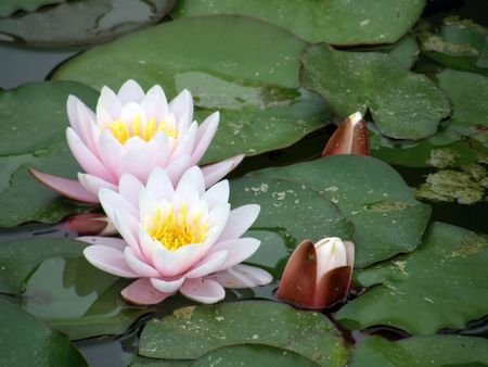 Beautiful water lily Stock Photo - 1164919