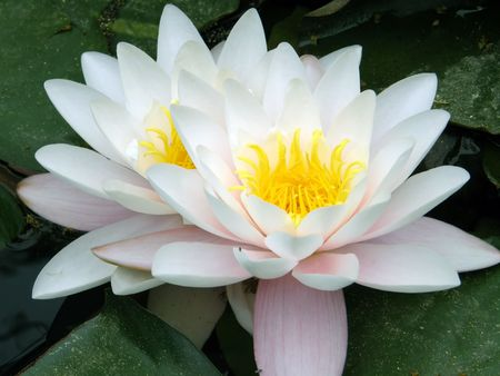 Beautiful water lily Stock Photo - 1164922