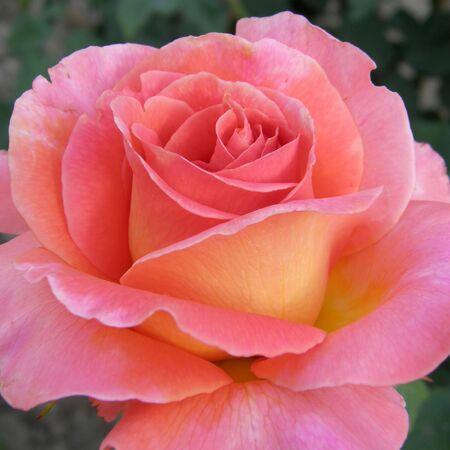 Beautiful rose Stock Photo - 1215768