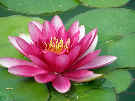 Beautiful water lily photo