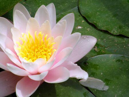 Beautiful water lily Stock Photo - 1405111
