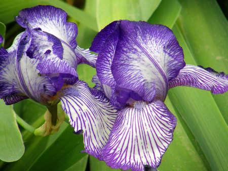 Beautiful flower of an iris photo