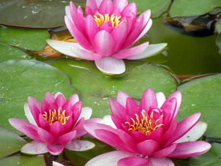 Beautiful water lily Stock Photo - 1414929