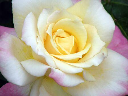 Beautiful rose Standard-Bild