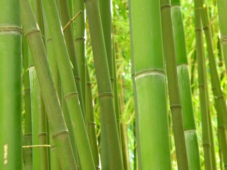Green bamboo grove. Standard-Bild