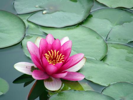 Beautiful water lily Standard-Bild