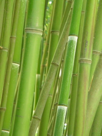Green bamboo grove. Foto de archivo
