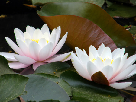 Beautiful water lily Stock Photo - 1600772