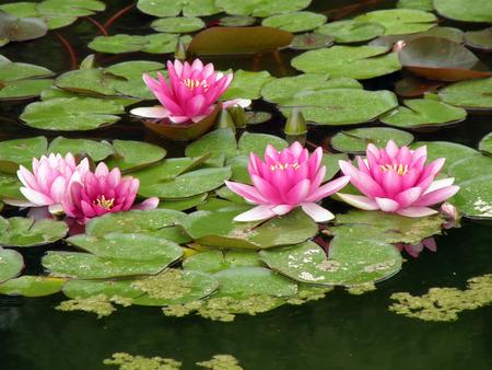 lirio de agua: Lirio hermoso del agua