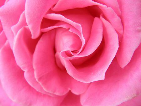 Beautiful rose Foto de archivo