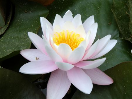 Beautiful water lily Foto de archivo