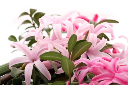 hyacinths: Hyacinths flowers. macro Stock Photo