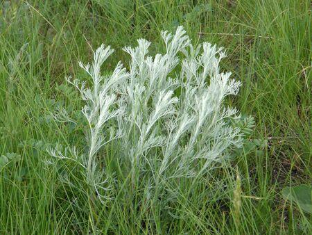 sagebrush: Wild sagebrush steppe