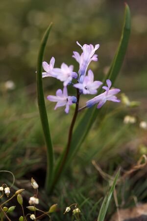 hyacinths: Beautiful wild spring hyacinths Stock Photo