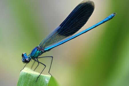 Insect. A beautiful dragonfly