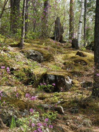 the taiga: Spring Taiga. Arshan. Buryatia. Siberia. Russia. Stock Photo