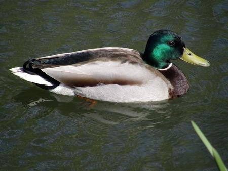 birdwatcher: Wild duck on the water.