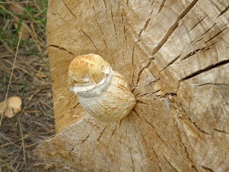 mushroom Pholiota destruens. Very beautiful image Stock Photo