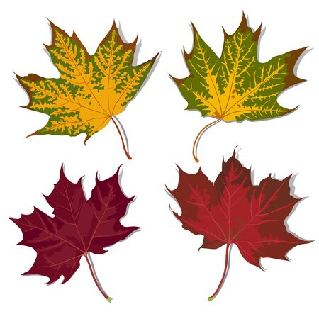 sycamore leaf: Set of autumn leaves of different color