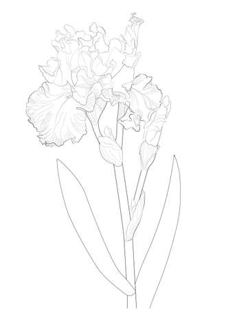 a sketch of a blooming iris Illustration